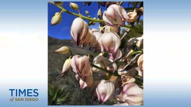 A Yucca plant blooms along Highway 78. Photo by Chris Stone