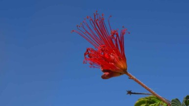 Native Fairy Duster blooms at the visitors center in Anza-Borrego Desert State Park. Photo by Chris Stone