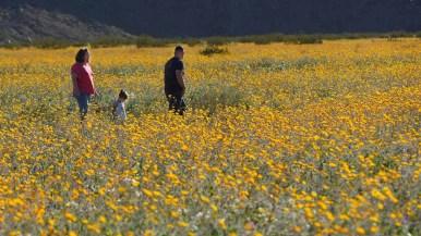 Wildflowers in Borrego Springs