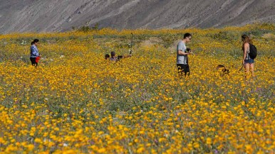 Families take photos among the Desert Sunflowers, Desert Sand Verbena and Dune Evening Primroses along Henderson Canyon Road in Borrego Springs. Photo by Chris Stone
