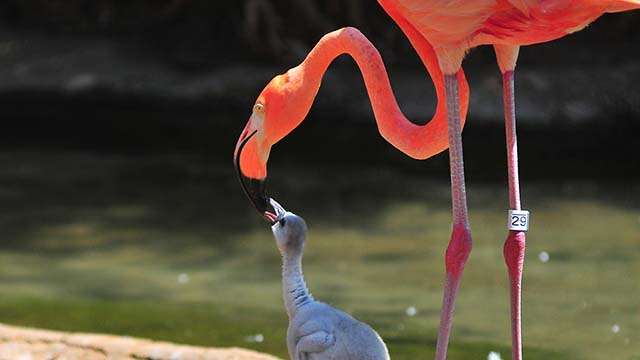 Greater flamingo chicks, with black legs, are being fostered by American flamingos at the San Diego Zoo. Photo by Chris Stone