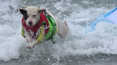 Faith, a six-year-old American pit bull terrier, leaps after surfing.