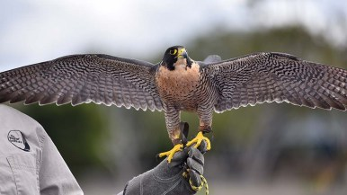 A peregrine falcon shows its wingspan during a bird demonstration at the march reserve.
