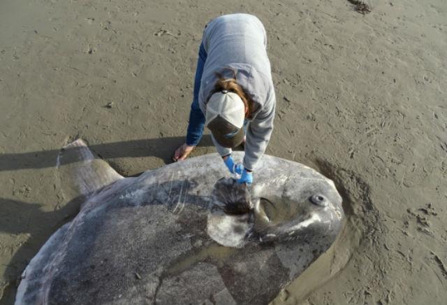 The washed up hoodwinker sunfish