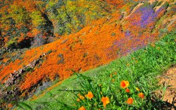 View of Walker Canyon poppies from trail in Lake Elsinore.