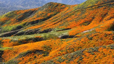 A hillside is covered with California poppies in Lake Elsinore.