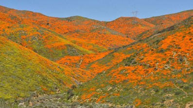 Orange poppies blanket hillsides in Lake Elsinore.