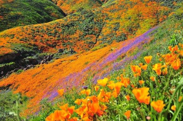 View of Walker Canyon poppies