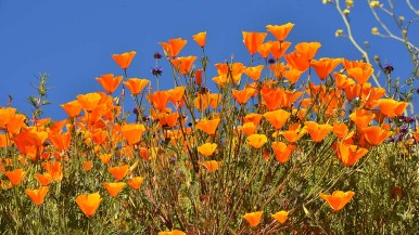 California poppies reach for the sun shining in Lake Elsinore.