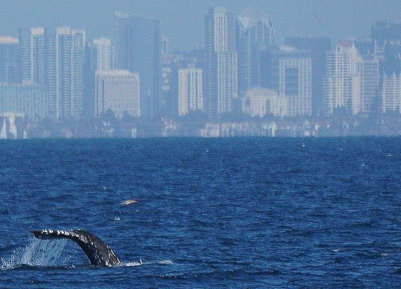 Thousands of gray whales continue with their annual 10,000- mile migration along the Pacific Coast.
