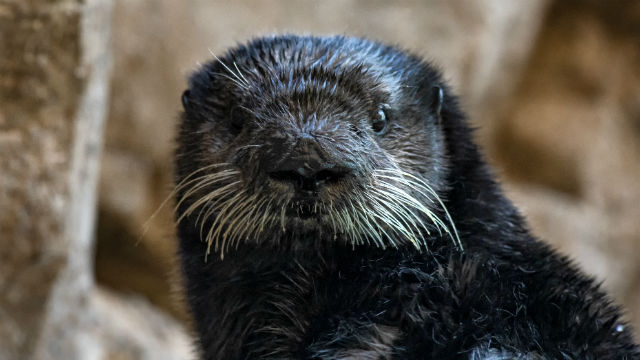 Rescued sea otter Nova