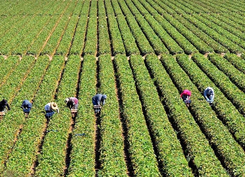 Farmworkers harvest vegetables near Salinas.