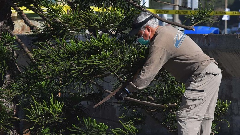 Volunteer Ken Moss trims off limbs of OB Christmas tree that are too long.