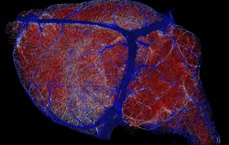 New brain maps offer resolution finer than a millionth of a meter, reconstructed here with high microvessel density areas in red, intermediate density areas in white and low density areas in blue.