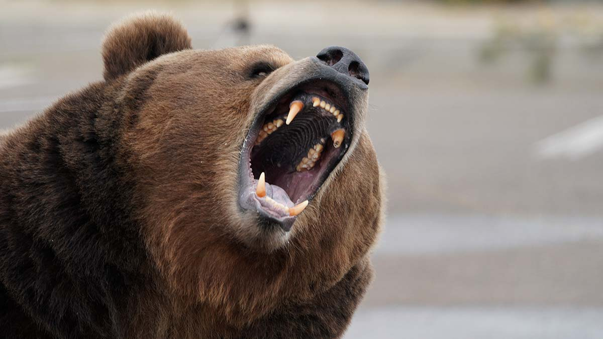 Tag, a 1000-pound Kodiak bear, opens his mouth as he awaits a chicken snack.