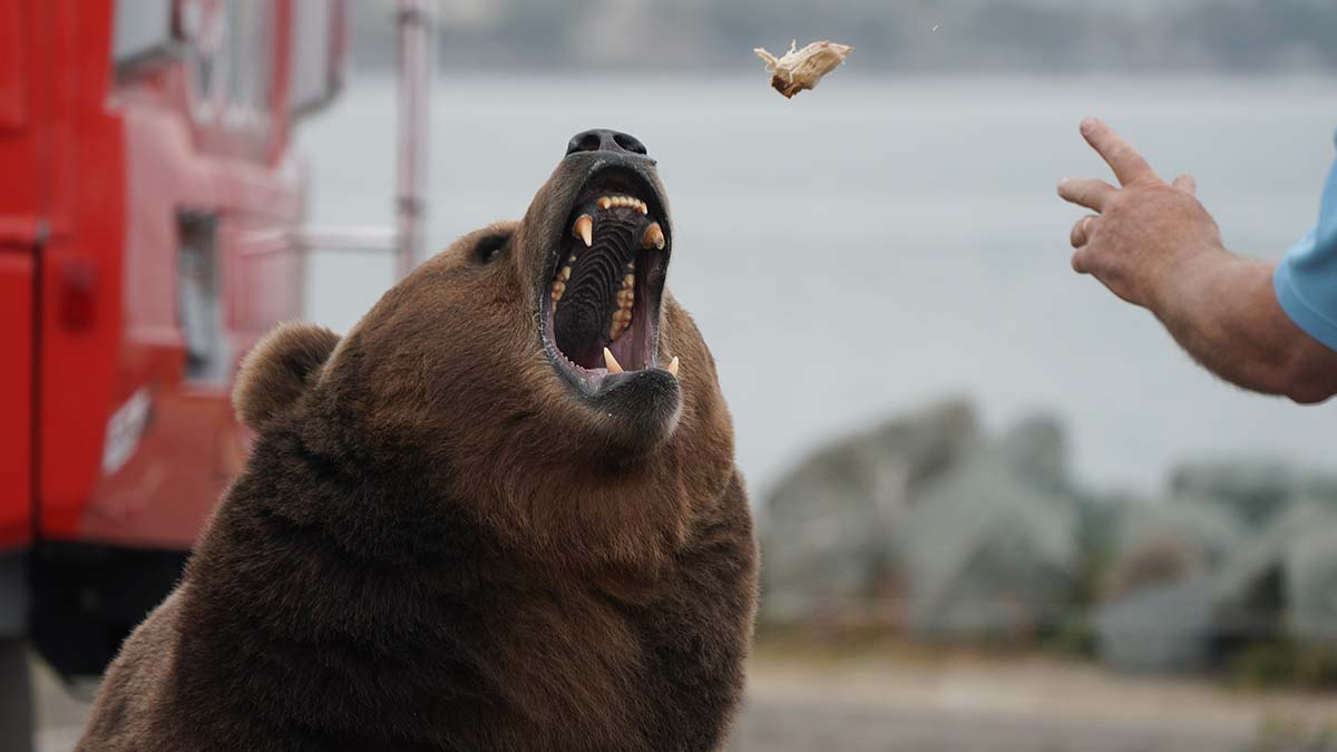 Tag, the 9-year-old Kodiak bear, catches a chunk of chicken tossed by a trainer.