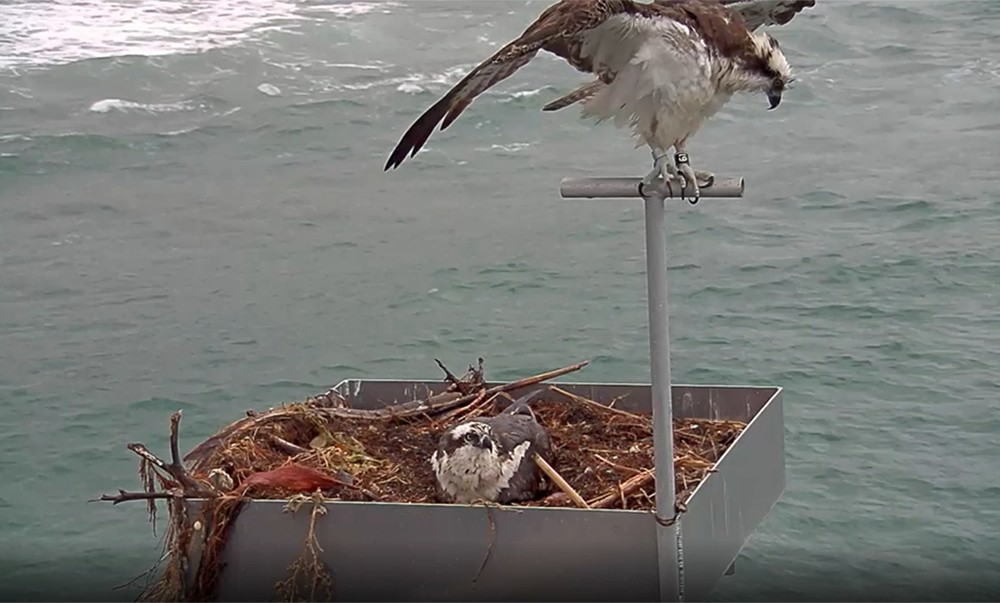 Ospreys on Scripps Pier