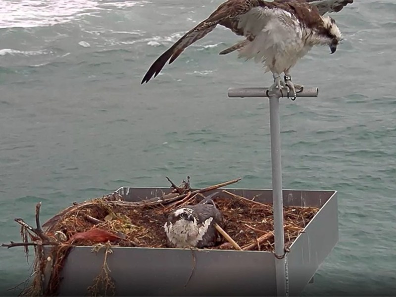 Ospreys on Scripps Pier
