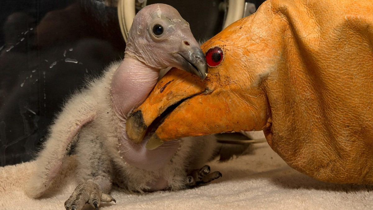 Condor chick