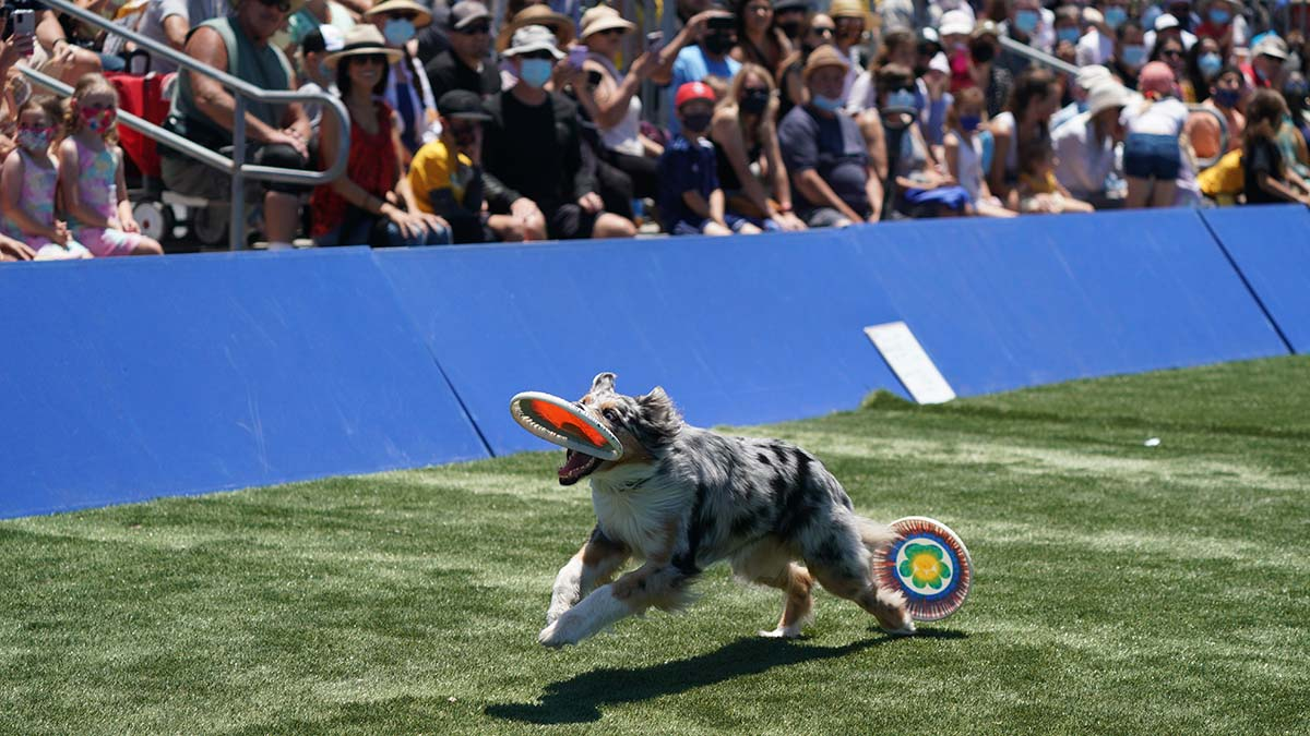 Frisbee-catching dogs at the Extreme Dog show delighted the crowd. Photo by Chris Stone