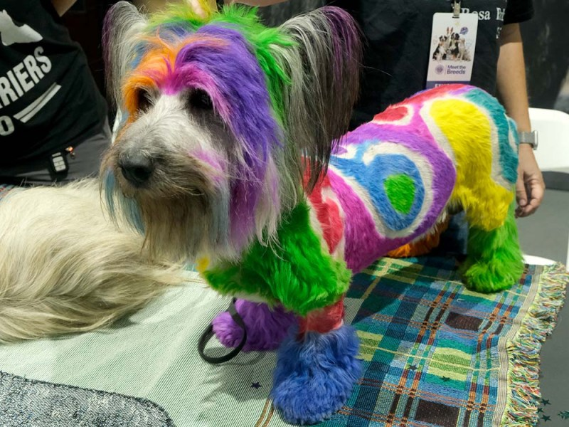 Arbo, a colorfully decorated Skye terrier, was brought over from Finland. Photo by Chris Stone