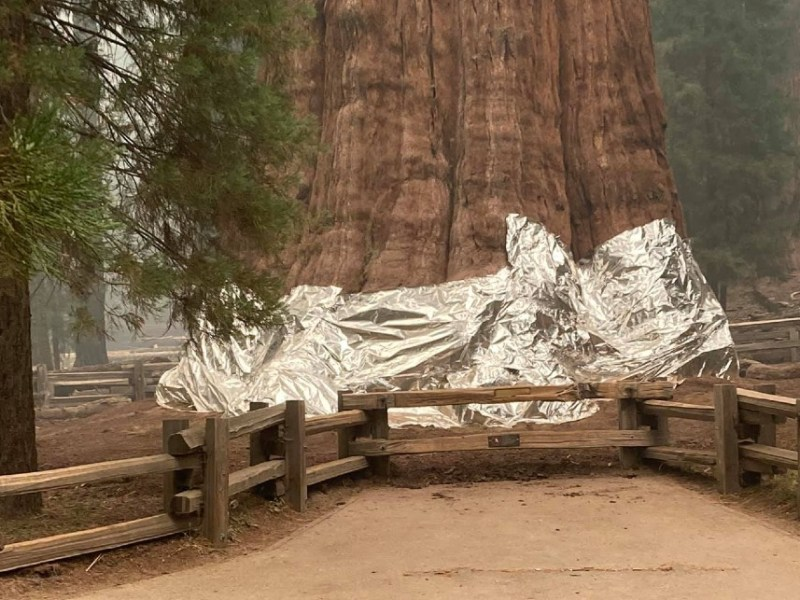 General Sherman tree wrapped in foil