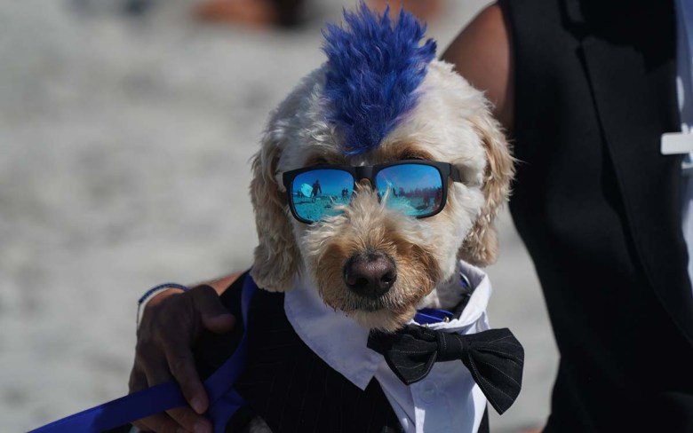 Derby the Goldendoodle is sporting a tuxedo for his competition at the Surf Dog Surf-a-thon. Photo by Chris Stone