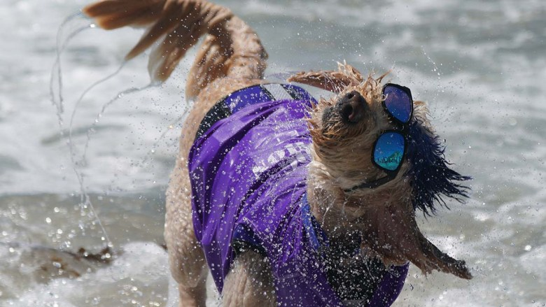 Derby the Goldendoodle shakes off sea water at the end of a surfing heat. Photo by Chris Stone