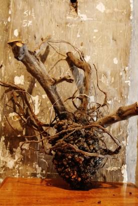 crown gall specimen