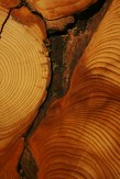 tree rings from a damaged spruce