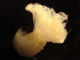 Vancouver Aquarium, a moon jellyfish