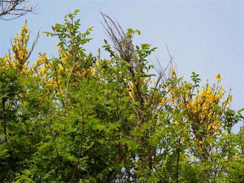 Scottish broom