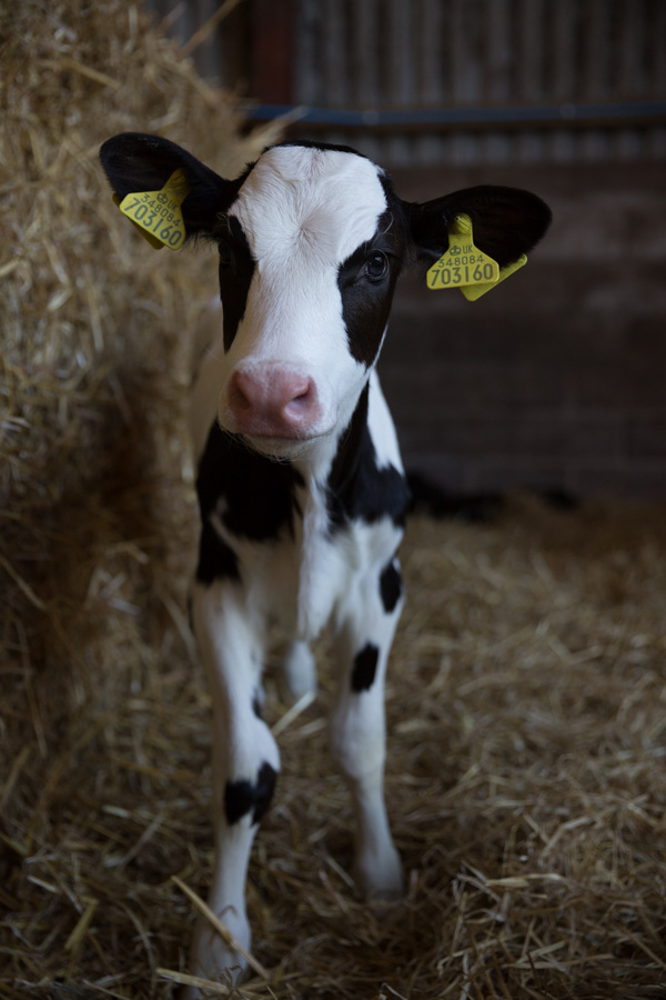 A young black and white calf looks directly to camera.