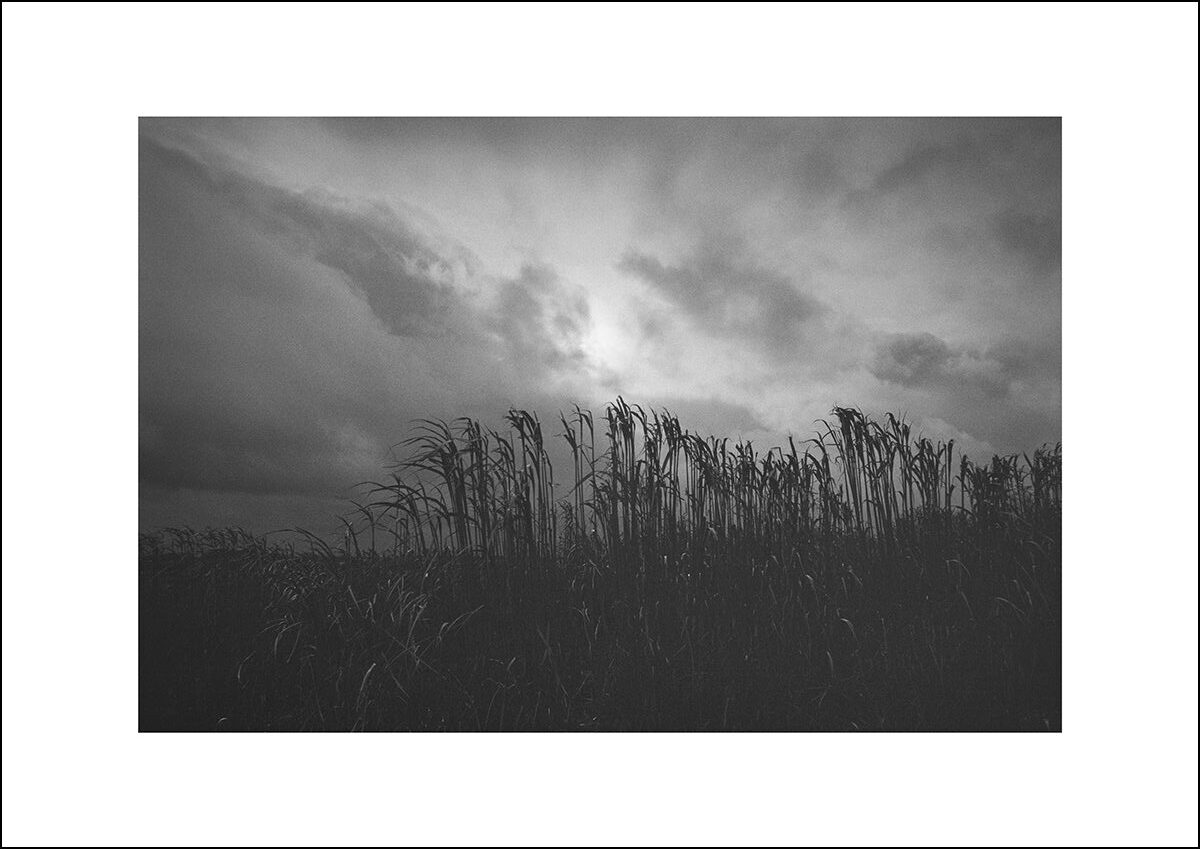Black and white photo of a wheat crop silhouetted against a brooding sky.