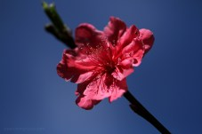 cloes flower 8