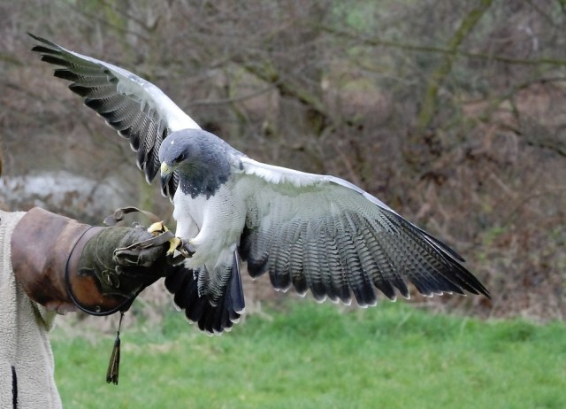 medieval hawking and falconry in the middle ages