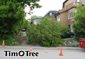 This photograph shows a typical end for a Manitoba Maple. The tree matures, gets top heavy or grows at extreme angles and its weak wood cannot support itself. Fortunately no one was hurt in this example