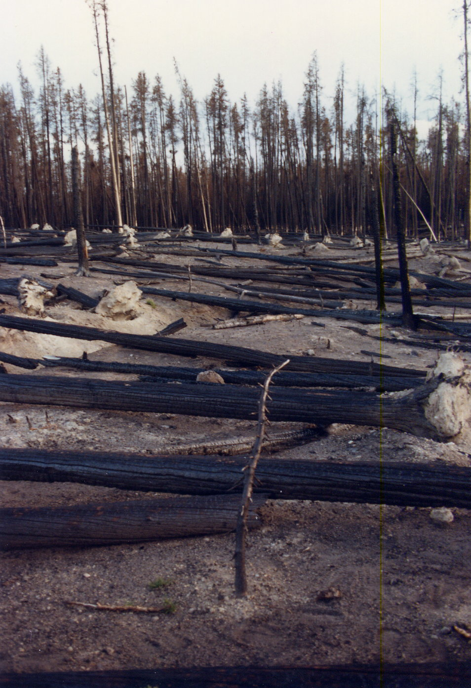 Yellowstone National Park in 1989, a year after the big fires - Copyright 1989 and 2008, Ed Darrell