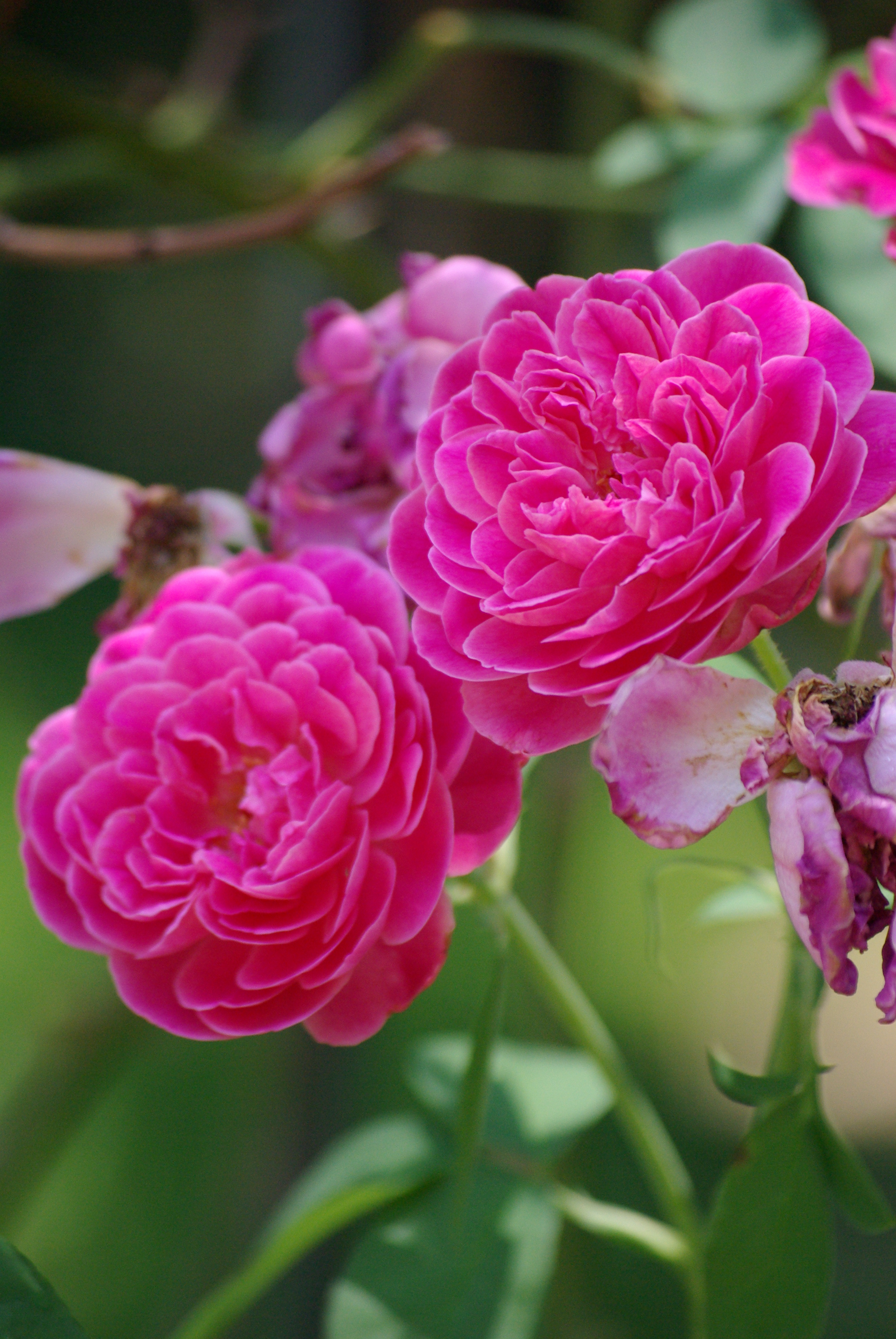 "Exquisite blooms of the ""Maggie"" rose (bourbon class) - in Kathryn Knowles' garden, summer 2009"
