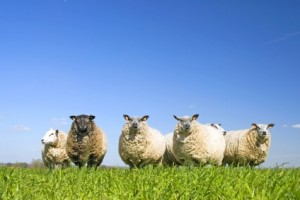 Sheep on grass