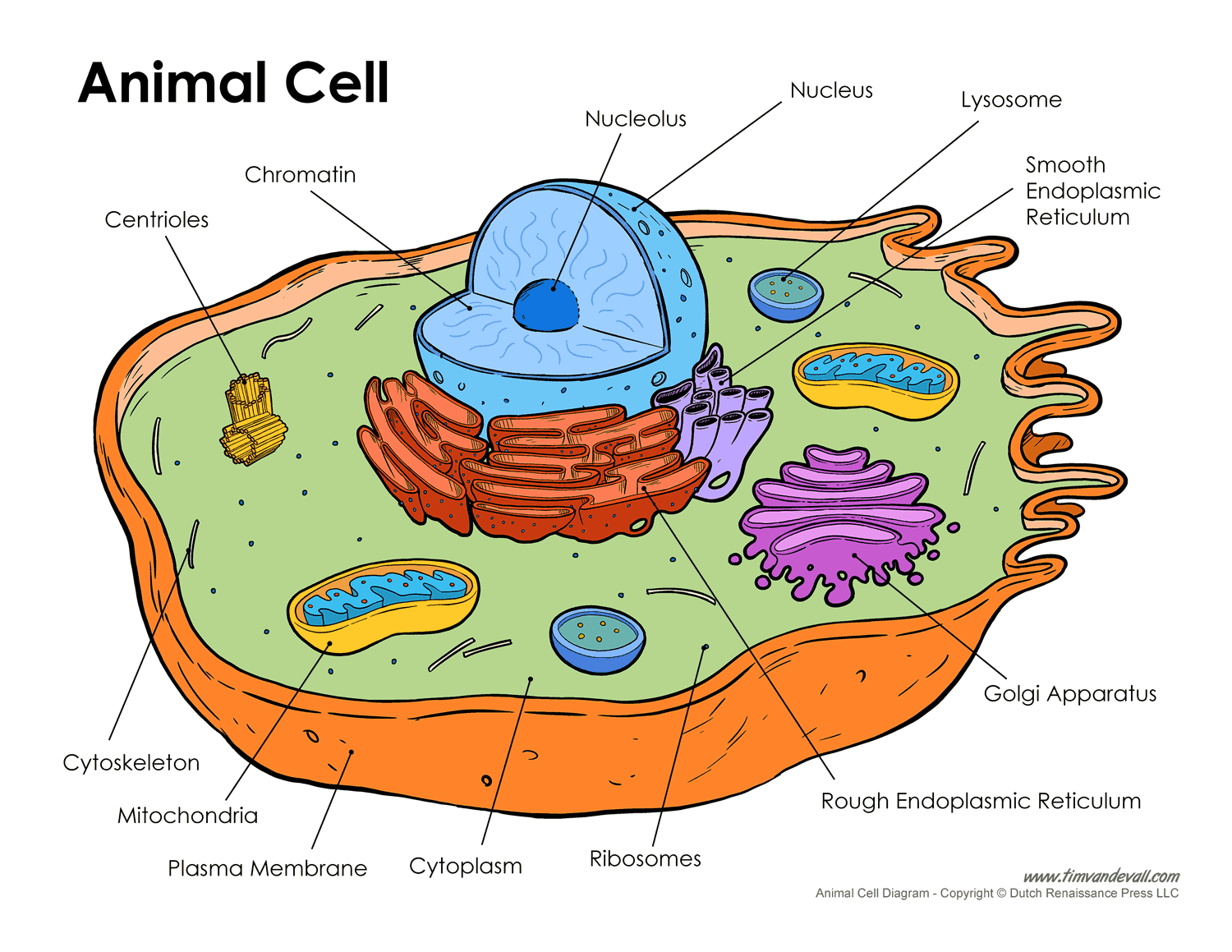 Printable Animal Cell Diagram Labeled Unlabeled And Blank