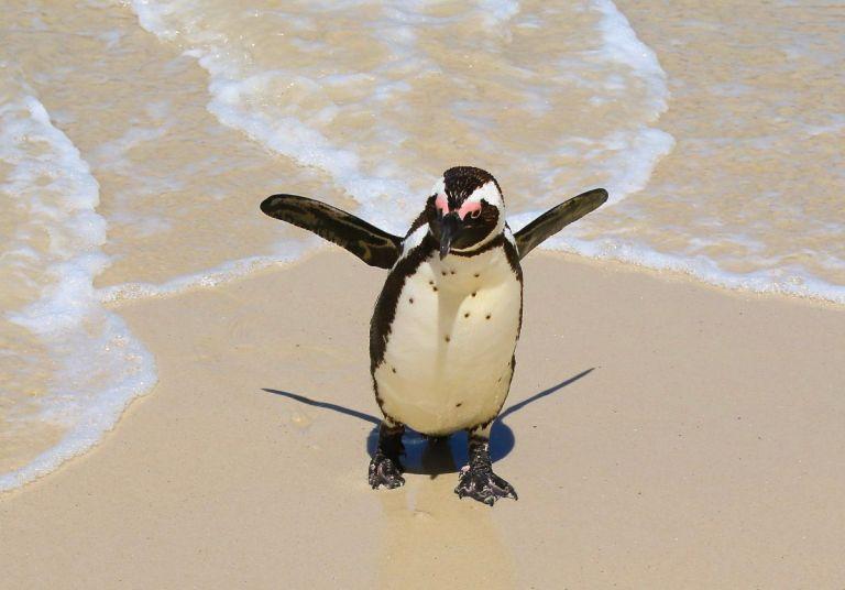 kaapstad Pinguïns spotten op Boulders Beach