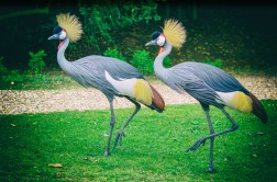 Cranes at Cranes at Cleres Zoological Park (Parc Zoologique De Clères), France.