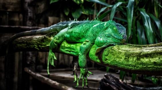 A green chameleon in a somnolent posture.