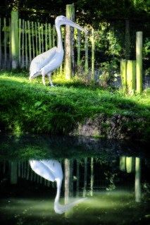 A pelican reflected in water.