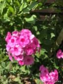 2018-07-18-Phlox-pink