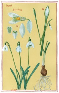 NS01 Nature's Gems: January Snowdrops