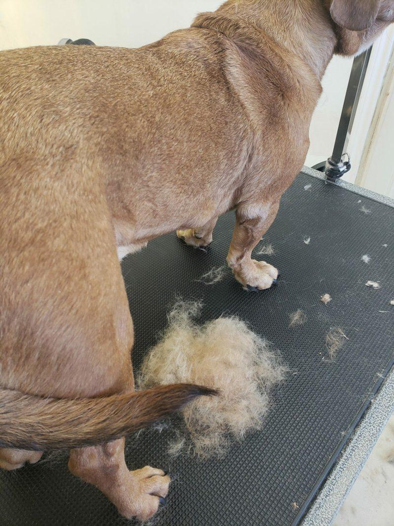 Beagle Mix shedding her coat