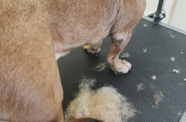 Beagle Mix shedding her coat