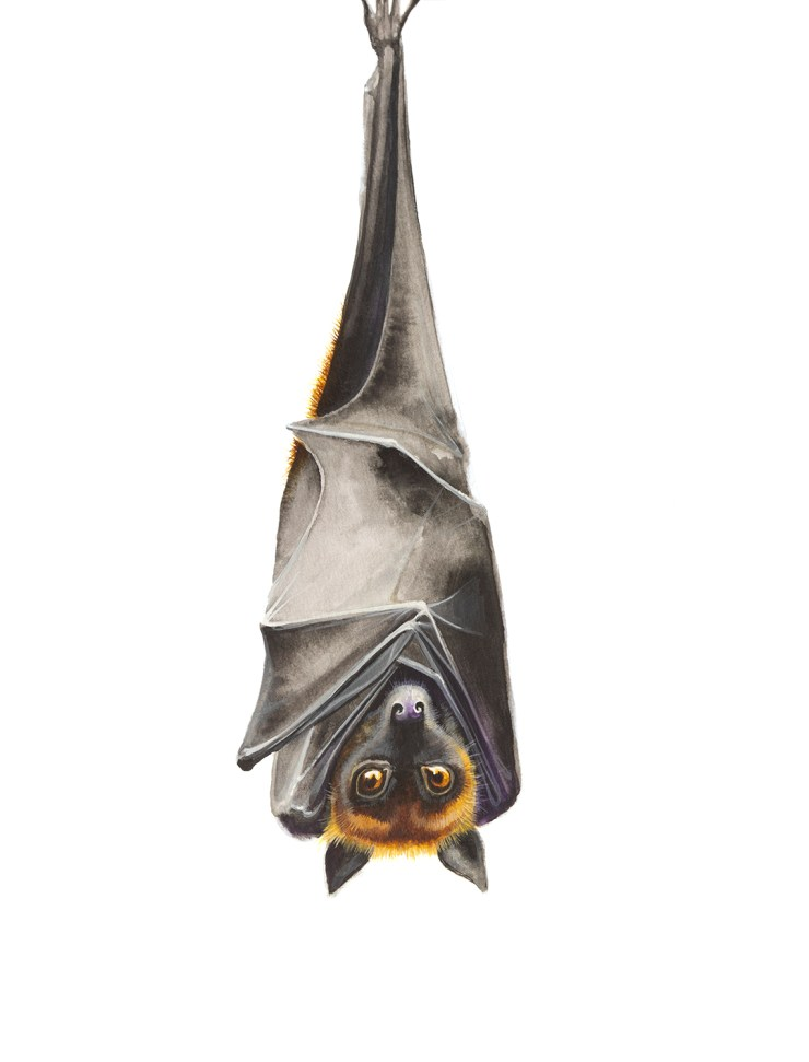 Watercolour painting of a flying fox by artist Tina Wilson